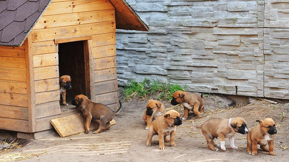 Puppies in a dog house