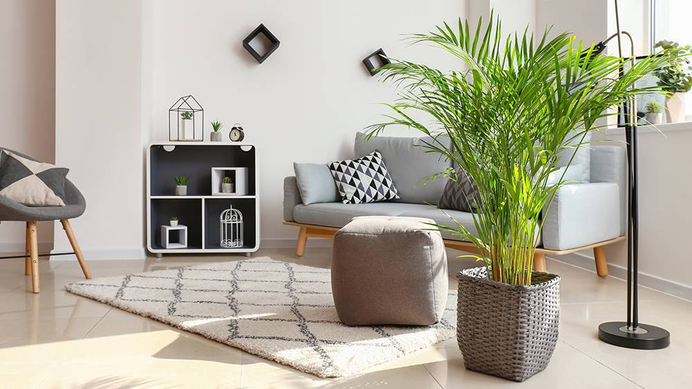 Bamboo palm in a living room