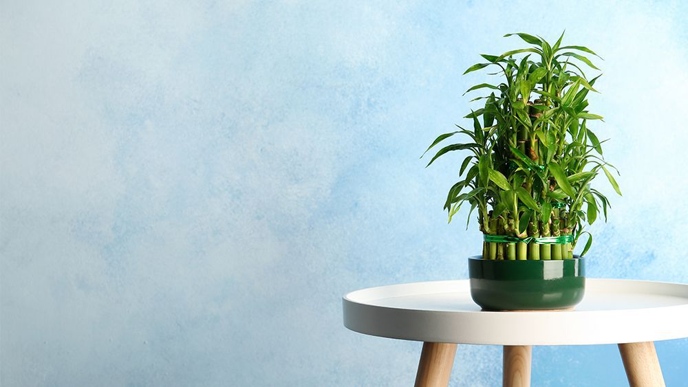 Lucky bamboo - humidity absorbing plant
