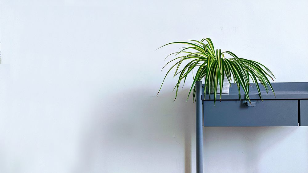 Spider plant on a table