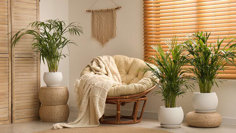 Parlor palm - air purifying plant