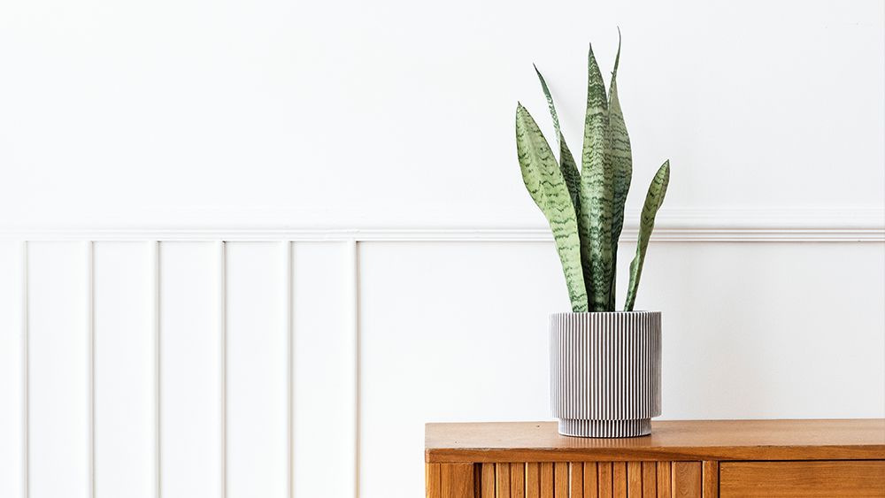 Mother in law tongue - snake plant