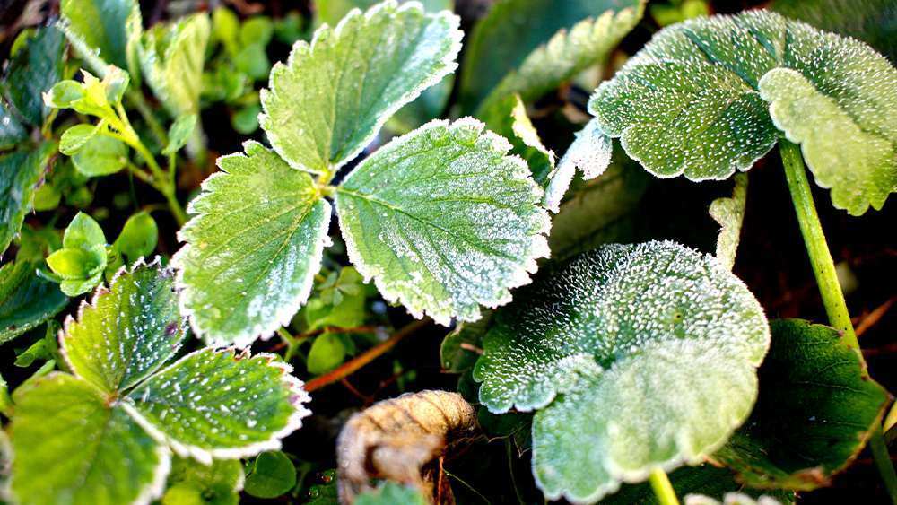 Frost on plant leaves. Frost develops when the temperature goes below 32 F