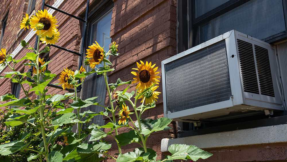 Window air conditioner surrounded by sunflowers